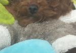 寻狗启示免费发布平台,一只棕色的泰迪不见了