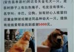 寻狗启示免费发布平台, 湖州市安吉县孝源村酬谢五千元寻找金毛