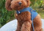 寻狗启示免费发布平台,帮忙找一只泰迪。找到的话重金酬谢