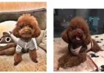寻狗启示免费发布平台, 杭州市绕城南庄兜高速路口酬谢五千元寻找棕色泰迪