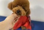 寻狗启示免费发布平台,小型泰迪     2020年1月24日也就是除夕当天在福建省漳州市诏安县南诏镇附近走失,他是一只泰迪公狗