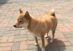 寻狗启示免费发布平台,急!寻找爱犬! 2000元酬谢!!