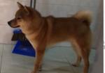 寻狗启示免费发布平台,寻狗启事,2020年4月6日丢失公柴犬。