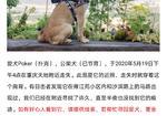 寻狗启示免费发布平台, 重庆市渝中区重庆天地酬谢一万元寻找柴犬