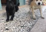 寻狗启示免费发布平台,黄色白脸小公狗