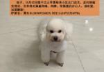 寻狗启示免费发布平台,白色比熊