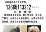 寻狗启示免费发布平台,寻找一只未断尾的公泰迪 名字肥团