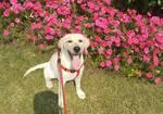 寻狗启示免费发布平台,米白色拉布拉多,找到必有重谢