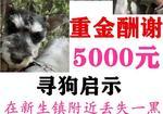 寻狗启示免费发布平台,  桐乡市新生镇新生路酬谢5000元寻找两只雪纳瑞