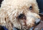 寻狗启示免费发布平台,双拥路附近救助泰迪一枚