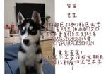 寻狗启示免费发布平台,找一只四个月的哈士奇男孩