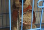 寻狗启示免费发布平台,捡到一只泰迪犬