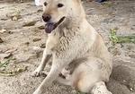 寻狗启示免费发布平台,白色田园母犬