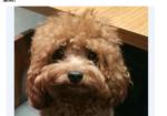 寻狗启示免费发布平台,爱犬于2019年9月17日6点左右在东莞市塘厦镇林村社区的金地仟百汇商场走失