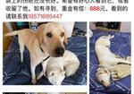 寻狗启示免费发布平台, 杭州余杭区五常地铁站寻找拉布拉多