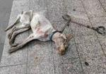 寻狗启示免费发布平台,拉布拉多,大概2岁 公犬