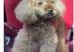 寻狗启示免费发布平台,台州椒江区锦水湾小区寻找12岁泰迪