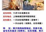 寻狗启示免费发布平台, 上海杨浦区新华医院酬谢一万元寻找金毛萨摩