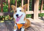 寻狗启示免费发布平台,寻短腿、粉红鼻头的小柯基