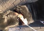 寻狗启示免费发布平台,黑色卡布拉多 背部一字伤痕