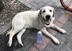 寻狗启示免费发布平台,捡到一只白色拉布拉多男生