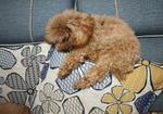 寻狗启示免费发布平台,米奇2个多月了该回家了