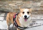 寻狗启示免费发布平台, 潍坊市潍城区宝通街青年路酬谢五千元寻找柯基犬