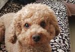 寻狗启示免费发布平台,爱犬于2019.6.22号早上8点43分在虹山菜市场门口附近走失