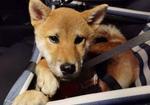 寻狗启示免费发布平台,五个月大柴犬于九江市浔阳区中航城三期附近走失