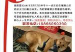 寻狗启示免费发布平台,柴犬丢失 寻找好心人提供线索