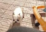 寻狗启示免费发布平台,寻找吉娃娃