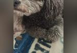 寻狗启示免费发布平台,灰色泰迪