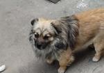 寻狗启示免费发布平台,狗狗名字叫二胖是一只串串4月27丢的是在狼垡镇,有看到的好心人请与我联系谢谢