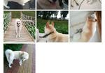 寻狗启示免费发布平台,寻狗 胖墩儿