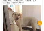 寻狗启示免费发布平台,寻犬米白色拉布拉多