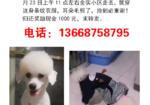 寻狗启示免费发布平台,捡到归还奖励1000现金。白色比熊犬10个月大,耳朵毛剪了