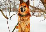 寻狗启示免费发布平台,寻一只大型犬,大黄狗,黄务高铁芝罘站附近丢失
