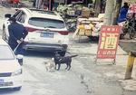 寻狗启示免费发布平台,寻棕色拉布拉多成犬