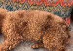 寻狗启示免费发布平台,上海浦东三林世博家园泰迪狗