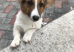 寻狗启示免费发布平台,寻一只五个月大的三色柯基