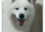 寻狗启示免费发布平台,重金寻白色萨摩耶犬