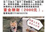 寻狗启示免费发布平台,郑州市二七区万象城五彩路酬谢两千元寻找柴犬