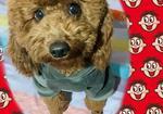 寻狗启示免费发布平台,爱犬于2019年11月27日在沧州市河间市大里文村附近走失
