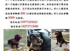 寻狗启示免费发布平台,千元寻找棕色拉布拉多秋水