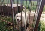 寻狗启示免费发布平台,寻爱犬大白熊