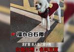 寻狗启示免费发布平台,【寻犬】白色雄性比熊、短毛、尾巴一撮粉毛、未结扎