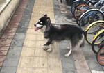 寻狗启示免费发布平台,应该是阿拉斯加,北京海淀清河黑泉路宝胜广场附近