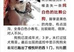 寻狗启示免费发布平台,寻一直白色小卷毛公比熊