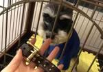 寻狗启示免费发布平台,北京丰台捡到雪纳瑞公狗