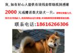 寻狗启示免费发布平台, 上海浦东新区张家浜酬谢2000元寻找柴犬